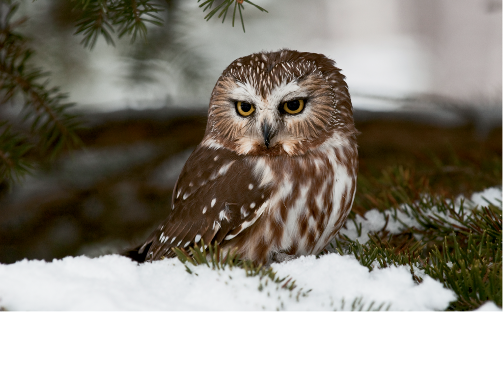 Finalist: Saw-Whet Owl in Pines by Mike Tuziw (Professional category)