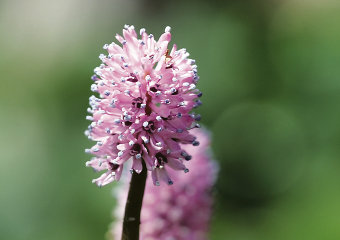 Swamp Pink Flower (Helonias bullata) Photograph by Paul Stein