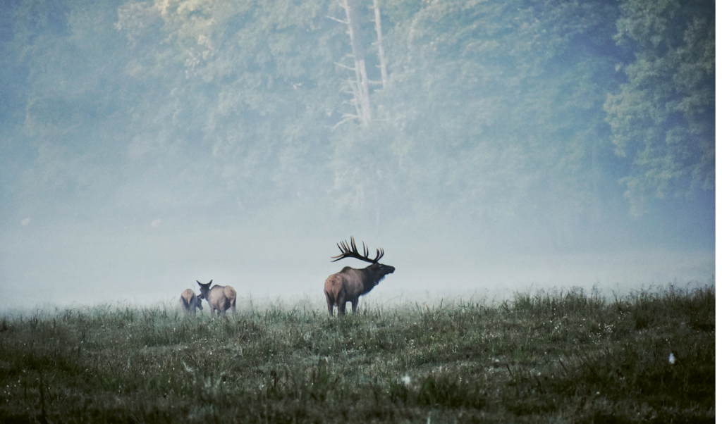 FINALIST - BULL ELK IN FOG - Kelsay Lickteig - As the early morning fog was lifting, Lickteig snapped this scene of a bugling bull elk and his ladies during mating season in Cataloochee Valley.  Professional category