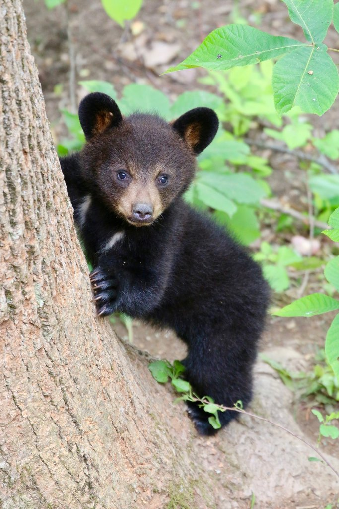 HONORABLE MENTION - BLAZE - Jim Moore - A bear cub caught on camera near Fairview. Amateur category