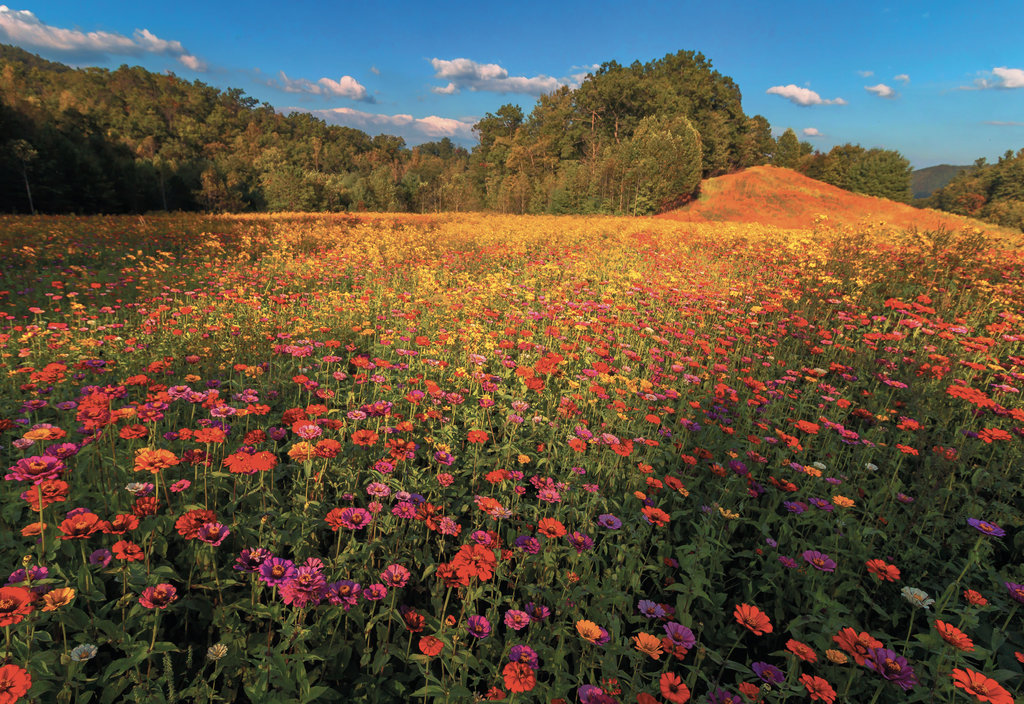 FINALIST - BURST AT TANYARD GAP - Steven Tracy Tweed - With an eye for composition, Tweed snapped this blooming field of zinnias at Tanyard Gap  in Madison County.  Professional category