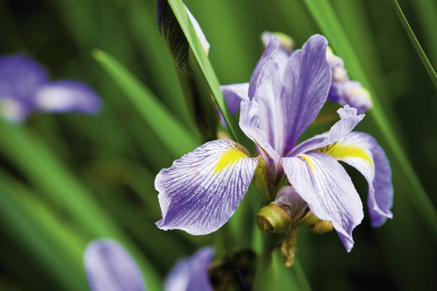 Southern Blue Flag Iris (Iris Virginica)