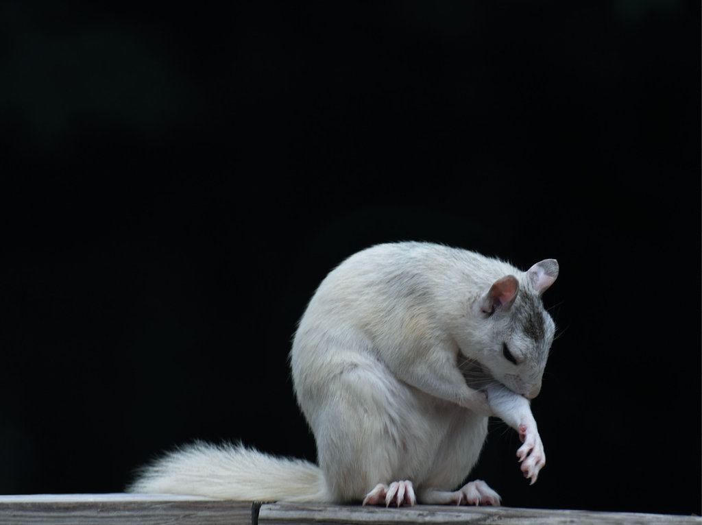 FINALIST - TIME TO GROOM - Ward Seguin - The unusual white squirrel can be found in very few pockets in the United States, including in Henderson County, where Seguin snapped this pic with his Nikon D5500.  Amateur category