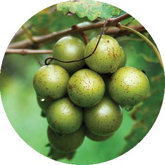 North Carolina native grapes